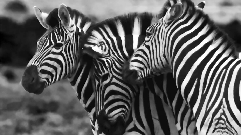 Zebra – bohaterka snów dziecięcych