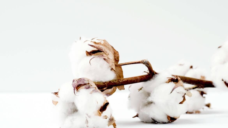 Kilka słów o bawełnie